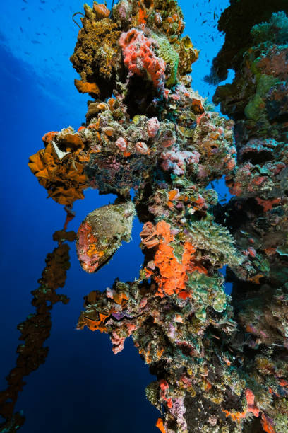 Iro, Japanese Oil Tanker Wreck, Amazing Ecosystem and Colorful Oyster Paradise, Palau, Micronesia stock photo