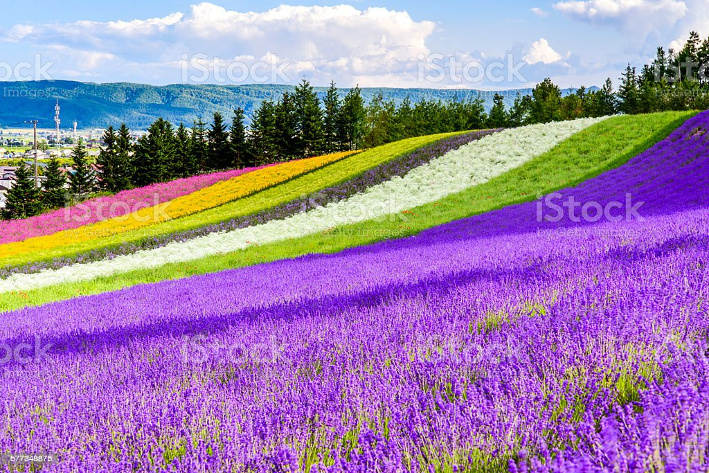 Irodori field, Tomita farm, Furano, Japan. stock photo