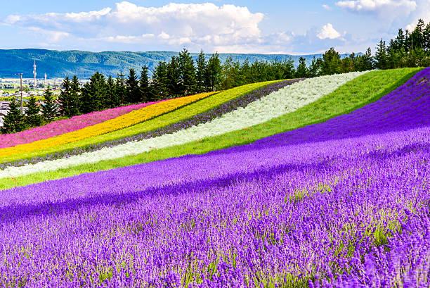 irodori field, tomita farm, furano, japan. - 北海道 ストックフォトと画像