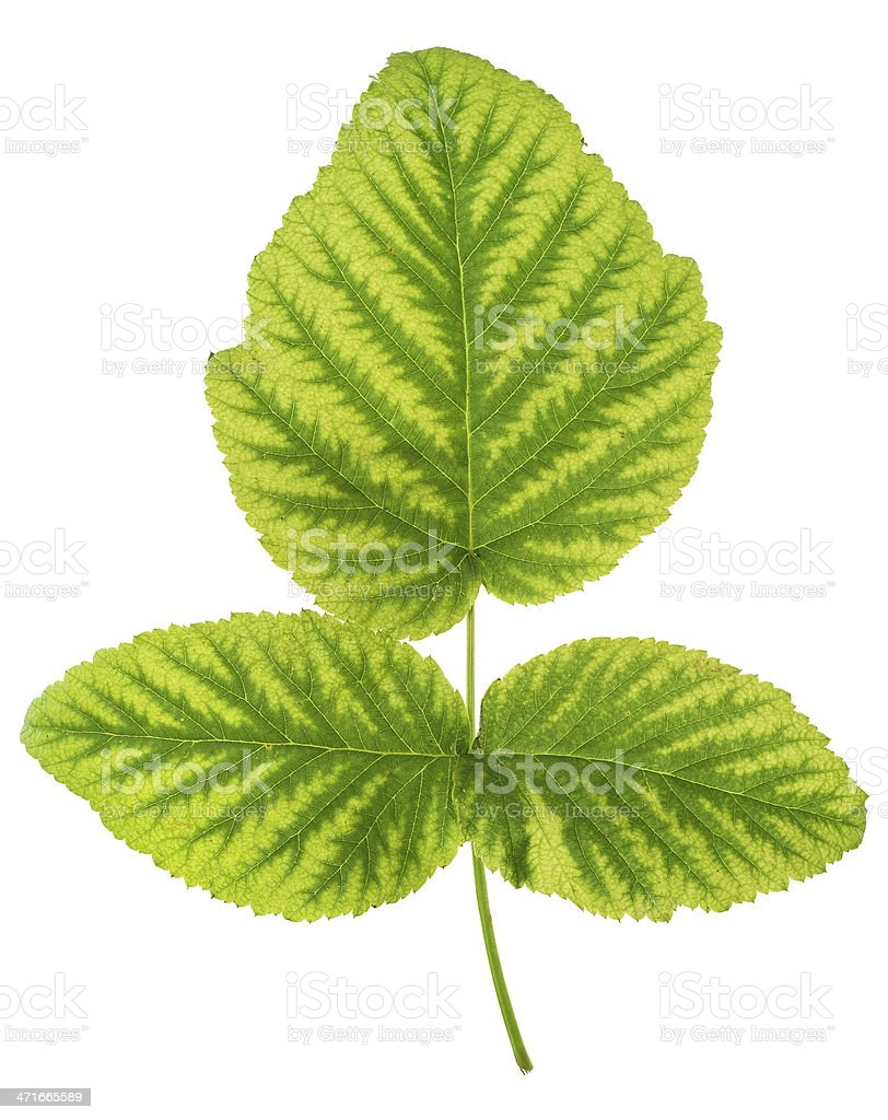 Iron deficiency in raspberry leaf, chlorosis, isolated stock photo