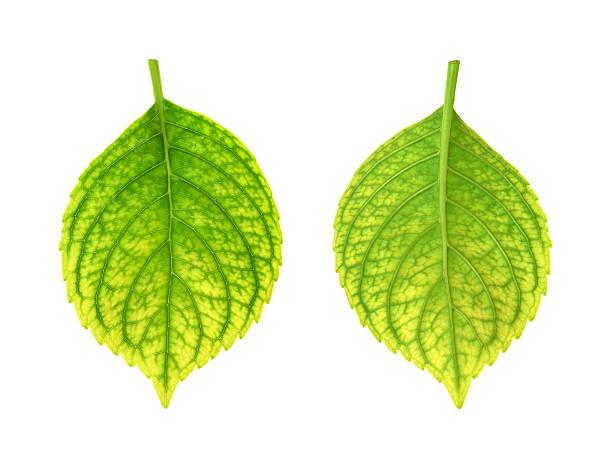 iron deficiency von hortensie macrophylla blatt-chlorosis - eisenmangel was tun stock-fotos und bilder
