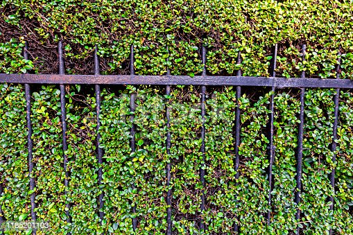 Beautiful iron fence against a green wall of decorative grass