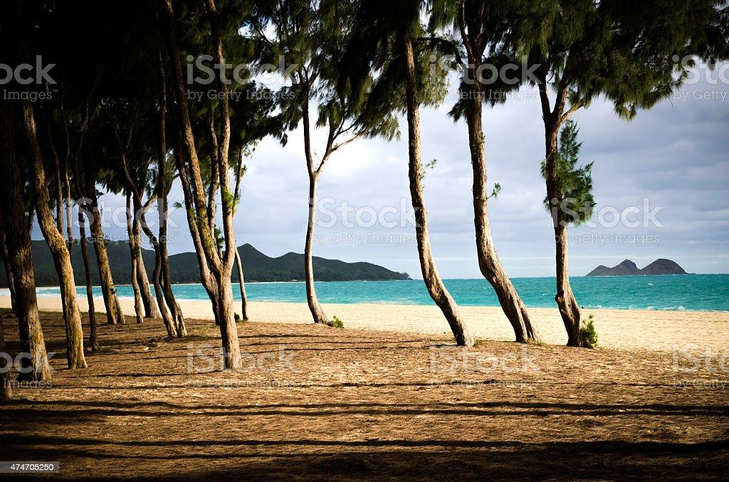 アイロンウッドの木がワイマナロビーチ ストックフォト