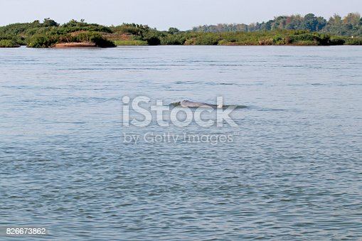 A rare Irrawaddy river dolphin on Mekong River near the Kratie city of Cambodia in April 2017 .The nearly extinct dolphins in this city are the main tourist attraction for watching.