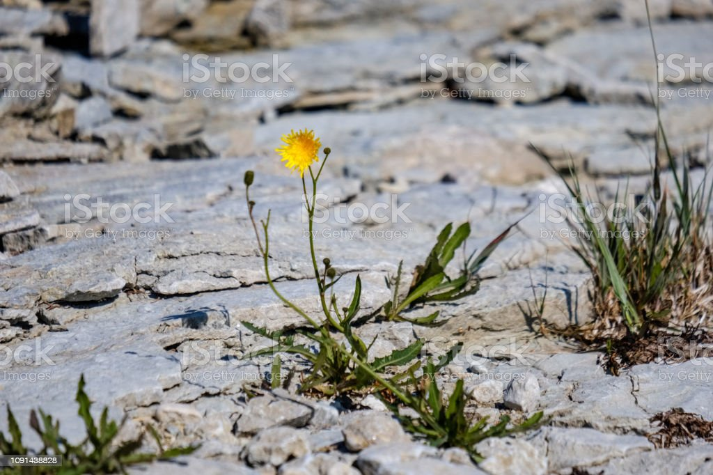irregular dry plants on rock covered beach on the island. poor...