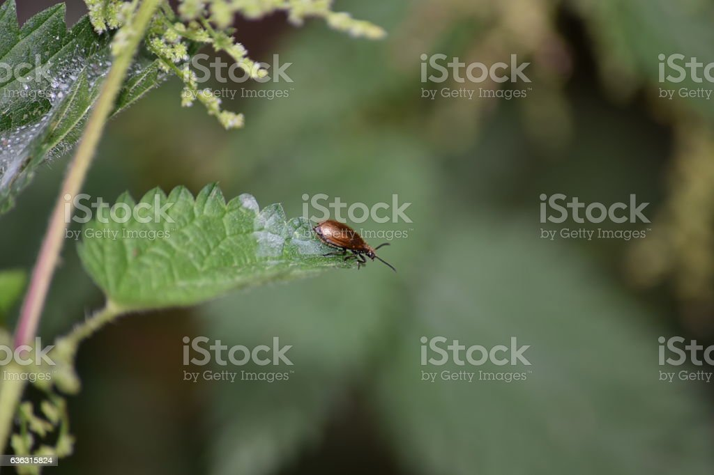 Irridescent beetle on a nettle leaf stock photo