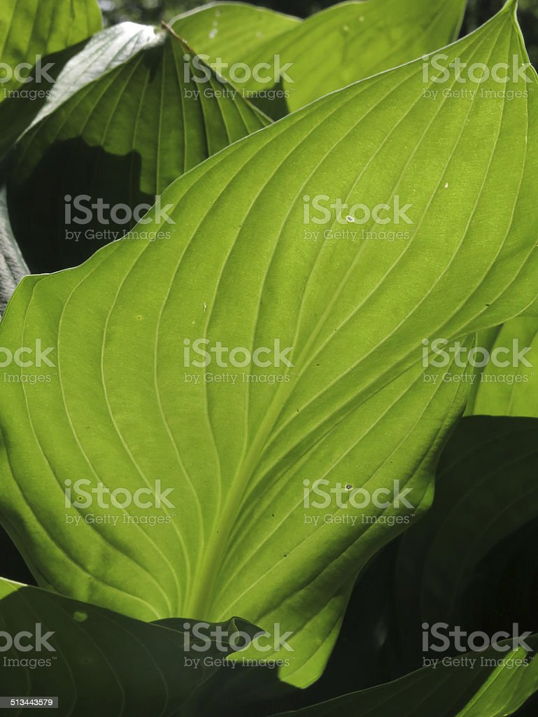Irridescent Glowing Hosta Leaf and Shadows stock photo