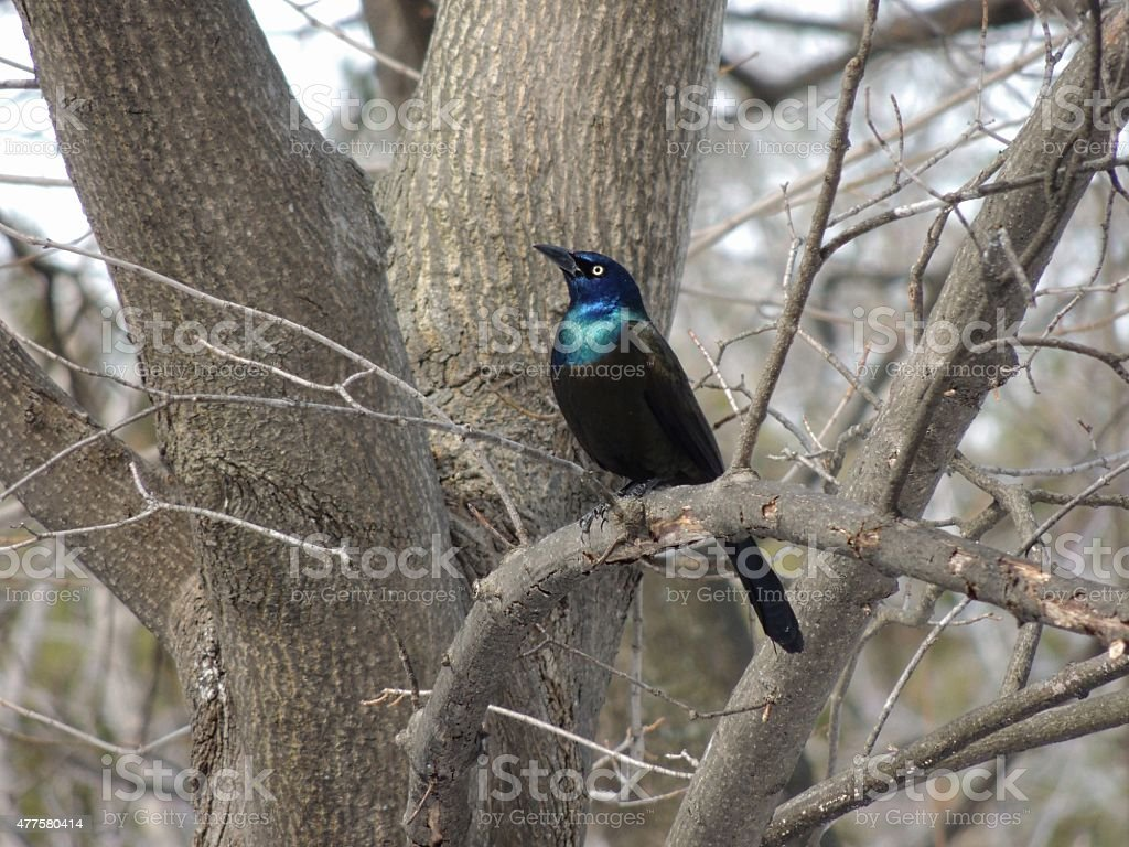 Irridescent Grackle Bird, in Trees stock photo