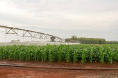 Irrigation equipment watering a crop of corn in vegetative stage.