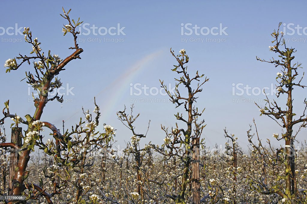 Irrigation fruit trees, orchard # 26 royalty-free stock photo