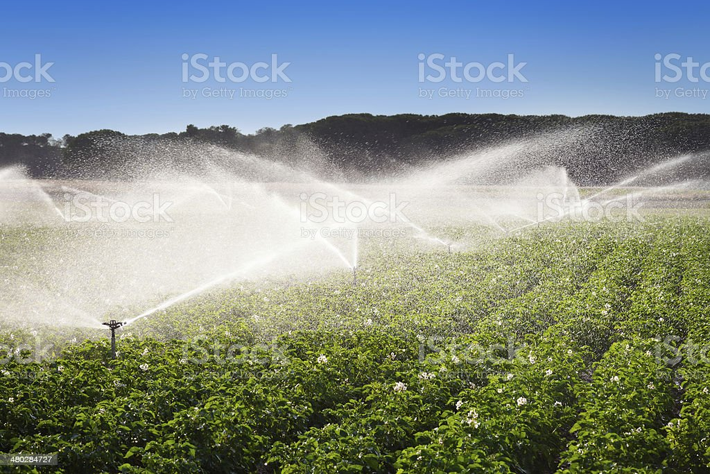 Irrigation in Field of growing potatoes stock photo