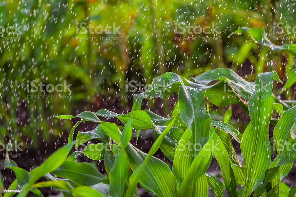 Irrigation of corn stalks stock photo