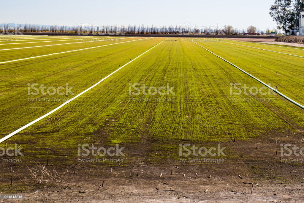 Irrigation Pipes & Sprinklers In Field stock photo