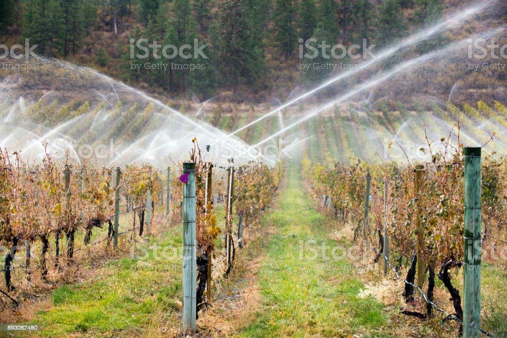 Irrigation Sprinkler Merlot Vineyard Okanagan Valley stock photo