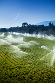 """A green row celery field is watered and sprayed by irrigation equipment in the Salinas Valley, California USA"""