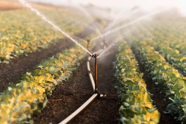 Bewässerungs-System für die Bewässerung Kohlkopffeld – Foto