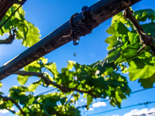 Irrigation system in a vineyard stock photo