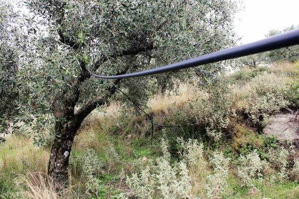 Système d'irrigation dans l'olivier en Grèce - Photo