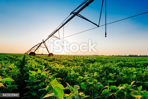 Soybean plants on farm in plain area with direct low sun. Location: Vojvodina, Serbia, Central Europe