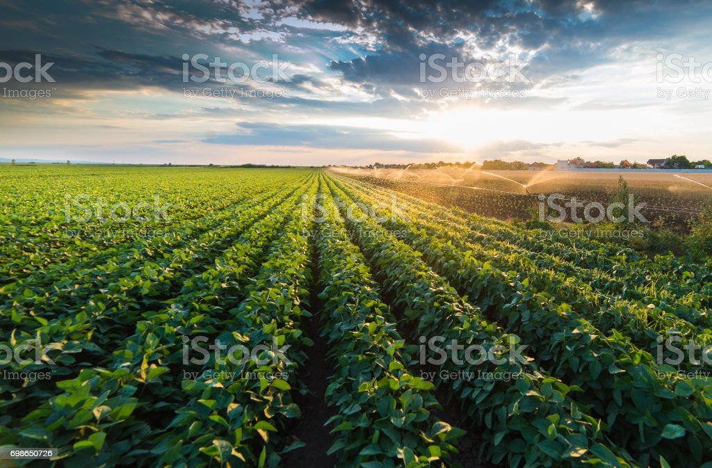 Irrigation system watering a crop of soy beans at field stock photo