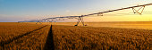 Irrigation system watering wheat field at summer sunset.