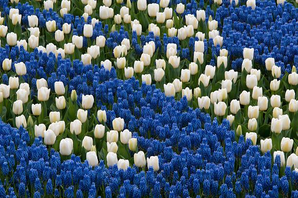 (Muscari latifolium) is a genus of perennial bulbous plants nati stock photo