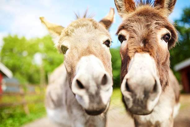 Is that a carrot in your pocket? Closeup shot of two donkeys on a farm mule stock pictures, royalty-free photos & images