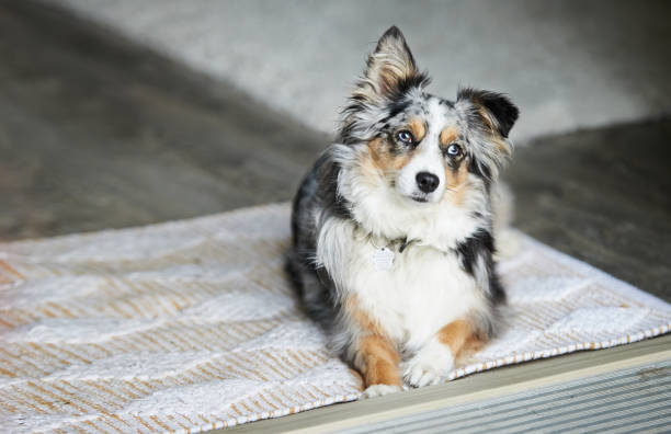 Is that the lunch bell I hear? Shot of an adorable Australian shepherd dog sitting on the floor at home australian shepherd stock pictures, royalty-free photos & images