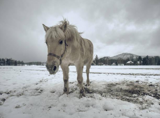 isabella farbige pferde im winterland. - pferdespiele kostenlos spielen stock-fotos und bilder