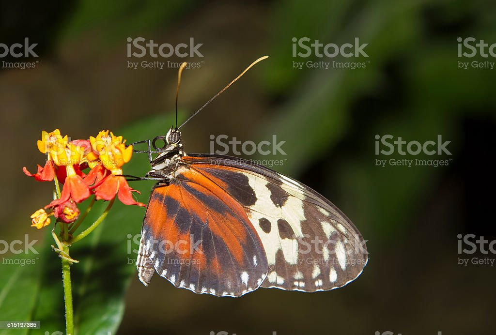 Isabella's Longwing stock photo