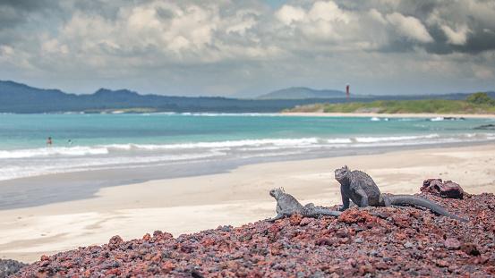 Les iguanes de mer se font doré au soleil dans l'archipel des Galapagos.