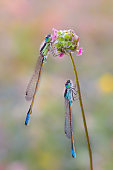 Pair of dragonflies resting on a flower with drops of dew on their transparent wings