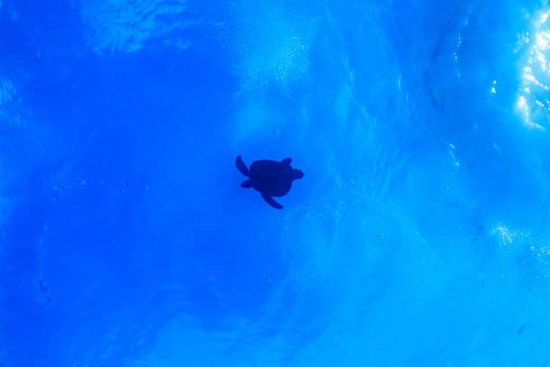 Ishigaki Island Diving - grüne Schildkröte – Foto