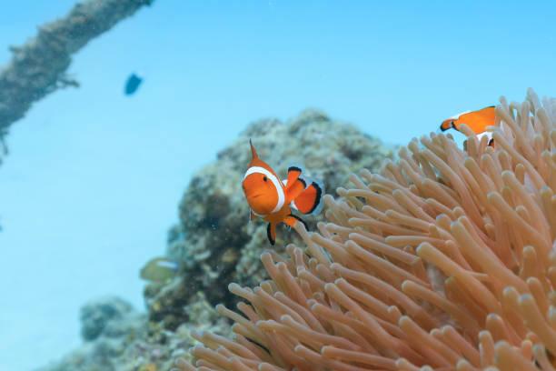 Ishigaki Island Tauchen-Cute Anemone Fisch – Foto
