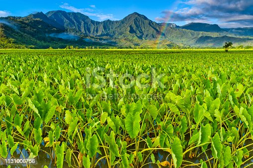 Taro farming in the Hanalei Valley of Kauai