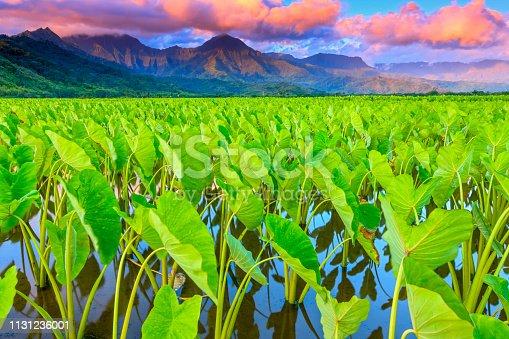 Taro farming in the Hanalei Valley of Kauai