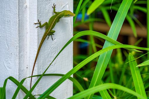 Gecko on a building pillar on Kauai
