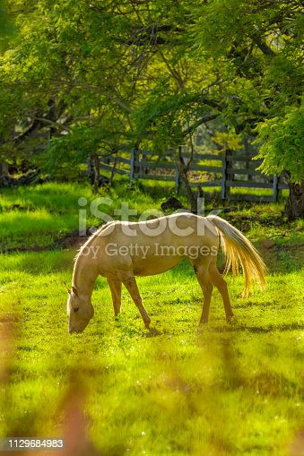 Horse grazing in Maui Upcountry region on Haleakala