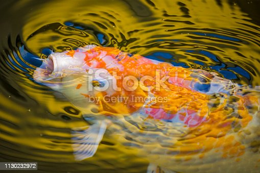 Koi fish at a resort on  Maui, Hawaii