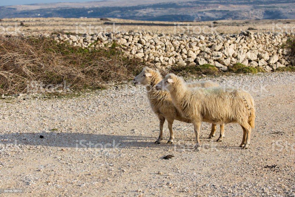 Island Pag, Sheep on pasture - two female long-tailed sheep, Croatia stock photo
