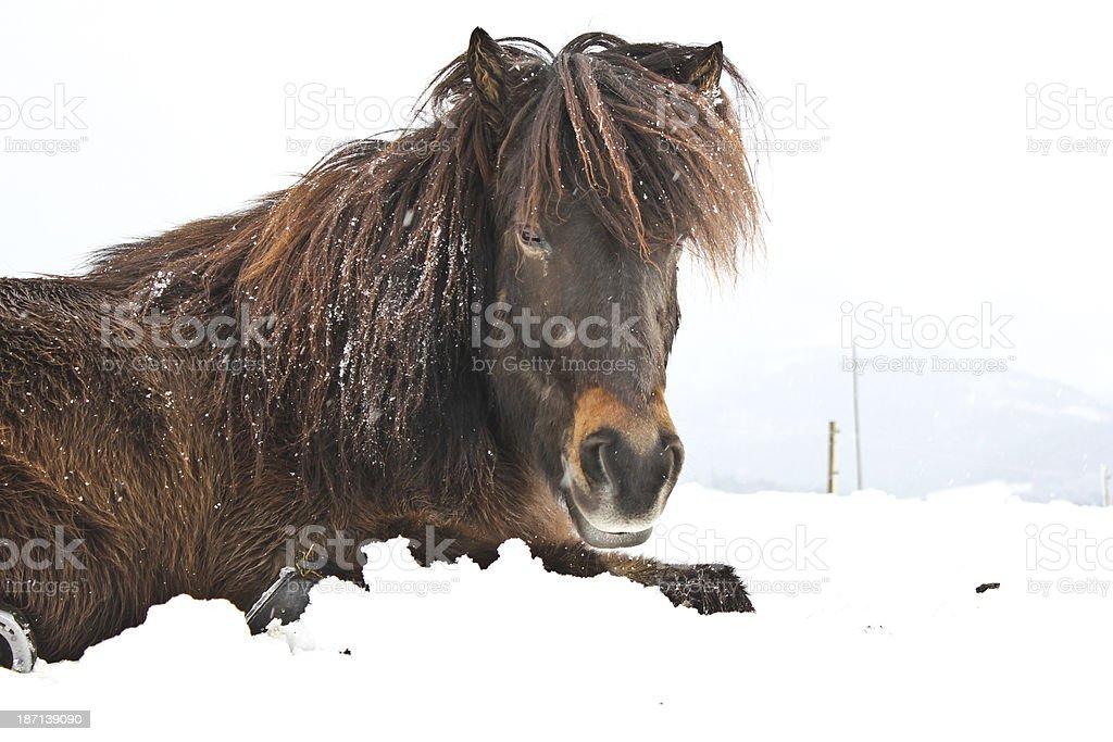 Islander im Schnee royalty-free stock photo