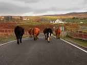 Near Glendale on the Isle of Skye you may get behind this small herd of dairy cows strolling down the road going to the milk barn all on their own. If you do, enjoy the moment and remember you're on vacation.
