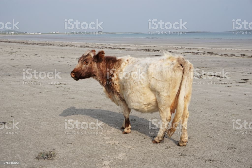 Insel Tiree, Kuh an Gott Bay - Lizenzfrei Argyll Stock-Foto