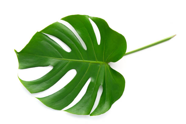 isole as folhas grandes do verde escuro de monstera, planta tropical da folha do philodendron que cresce no selvagem no fundo branco com conceito do trajeto de grampeamento para o plano leigo verão folha - monstera - fotografias e filmes do acervo