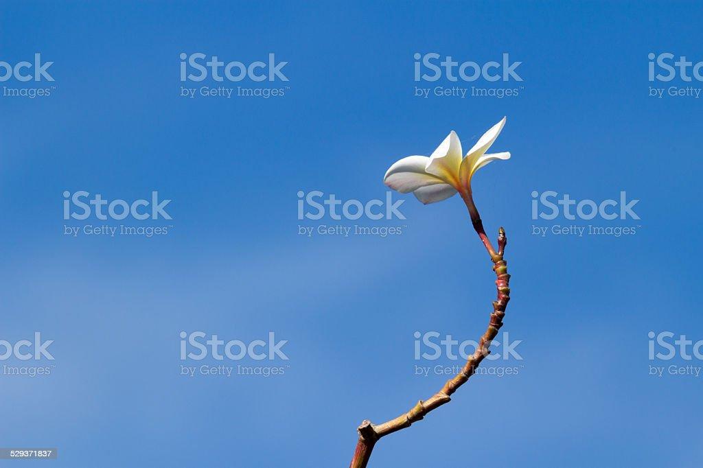 Isolate for Desert Rose flower stock photo