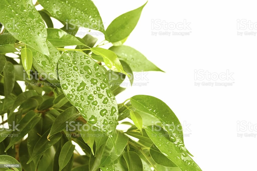 Isolate green leafs royalty-free stock photo