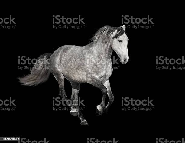 Isolate of the gray horse on the black background picture id513625678?b=1&k=6&m=513625678&s=612x612&h=8uukqvbkjaxku1qwujwea6l1g5jd4cmpo4h2 a wgmy=