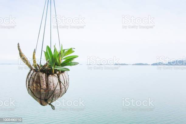 Photo of Isolate wild orchid in coconut husk hanging over the lakeside. Nam Ngum Lake background. Top tourist attractions in Laos. Vientiane Province. Copy space. Rainy season. Soft sunlight.