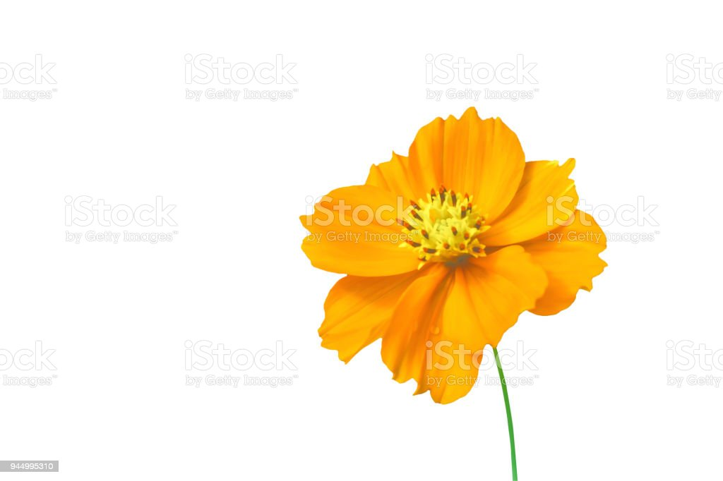 isolate yellow cosmos flower  on white background with clipping path stock photo