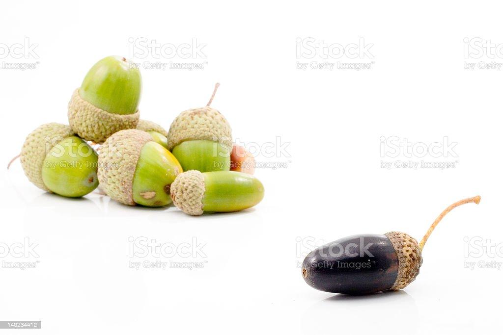 isolated acorn stock photo